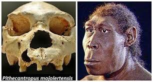 PithecanthropusMojokertensis