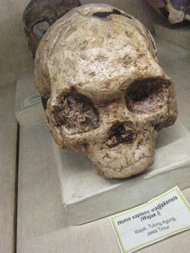 homowajakensis