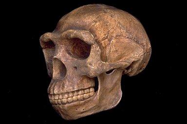 Ciri Ciri Dan Sejarah Pithecanthropus Erectus Idsejarah
