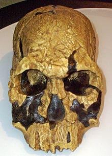 220px Homo rudolfensis 1