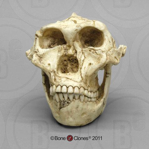 Ciri – Ciri dan Sejarah Australopithecus Robustus