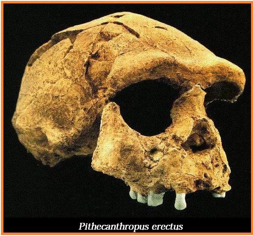 ciri ciri pithecanthropus erectus