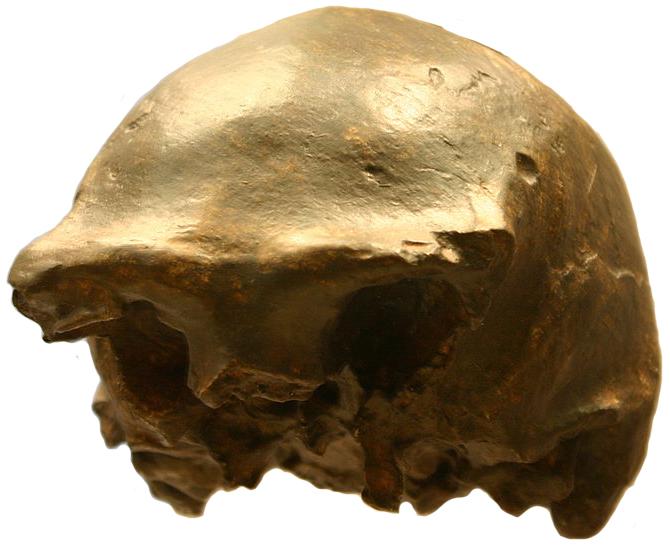 Ngandong 7 Homo erectus